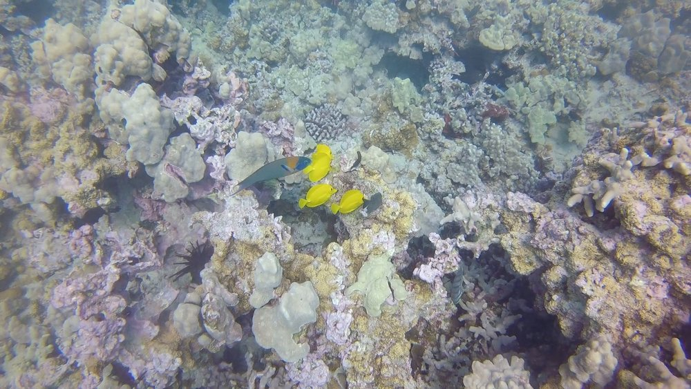 Scuba diving in Maui, Hawaii spotted yellow fish and a parot fish.