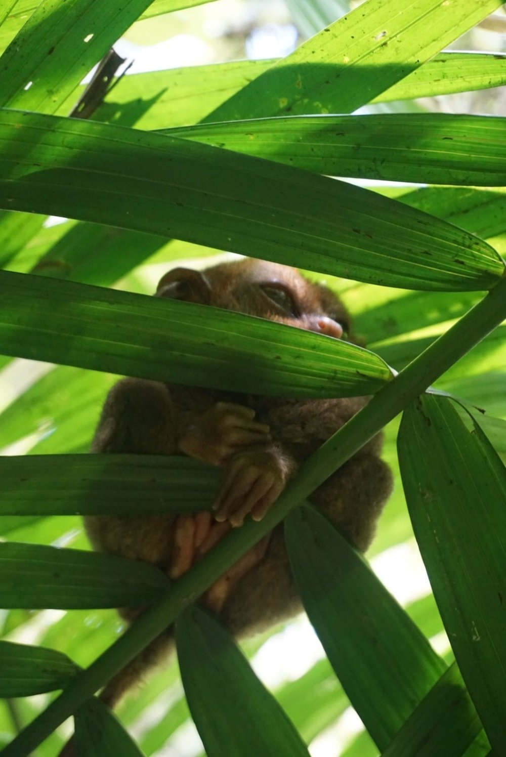 Baby Tarsier is spotted trying to sleep in the forest of Bohol island in the Philippines. boldlygotravel.com