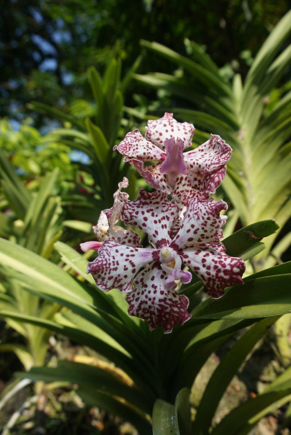 spottedorchid.jpg