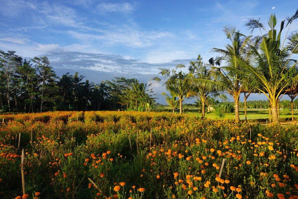 Fields of marigolds outside of Ubud, Bali. Boldlygotravel.com