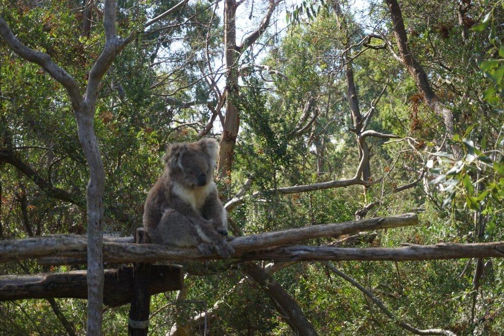 koala5.jpg
