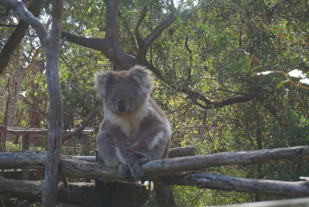 koala6.jpg