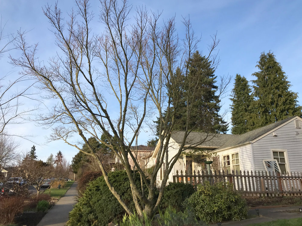 Maple Tree Pruning