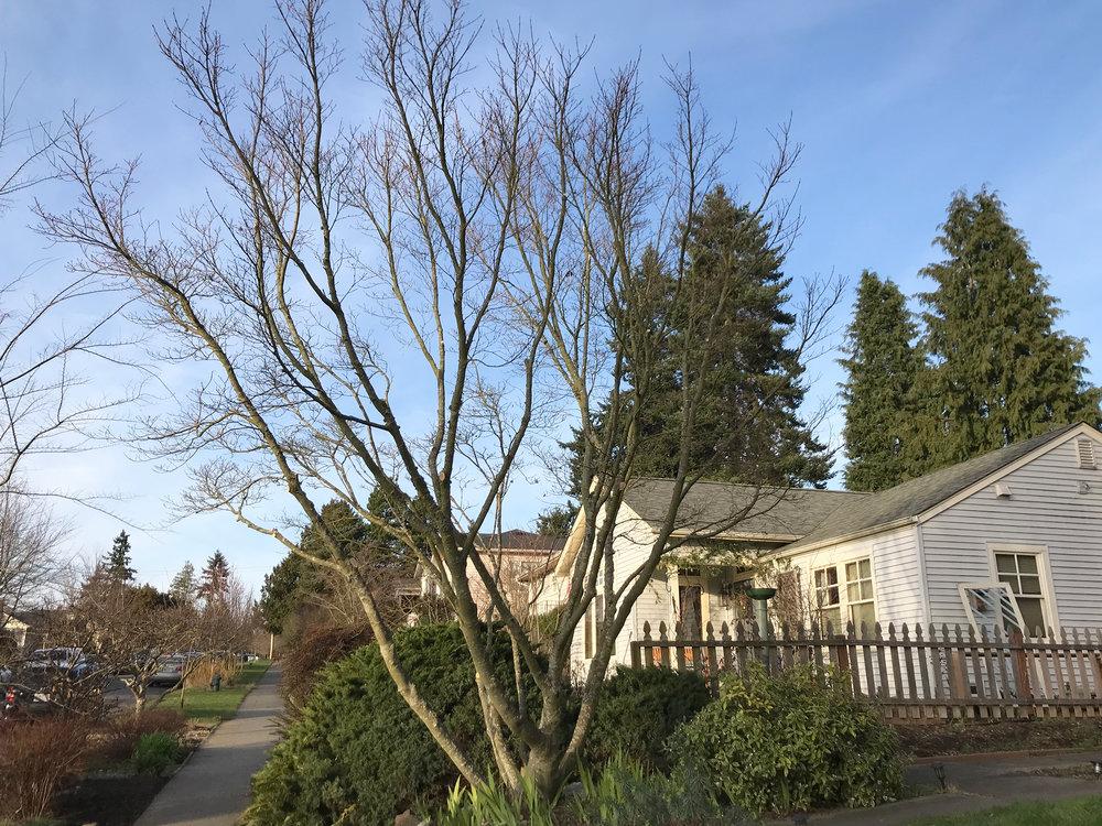 Maple Tree Pruning