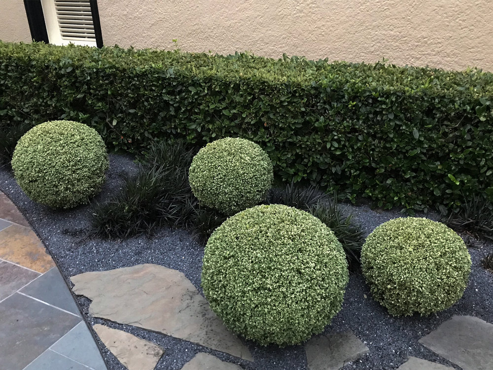 Boxwood Ball Pruning