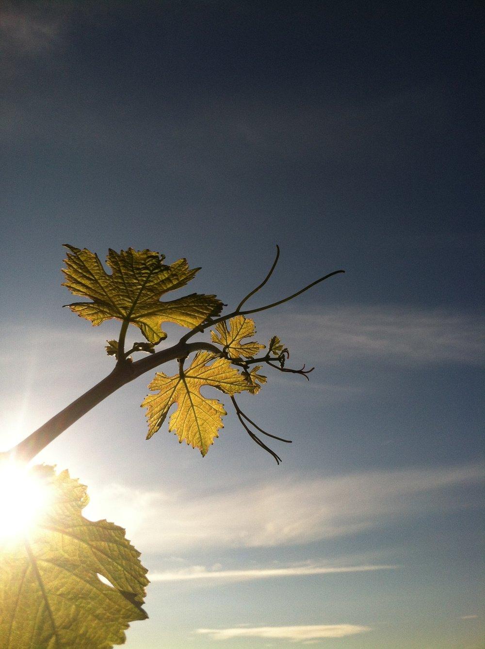 vine, sun & sky