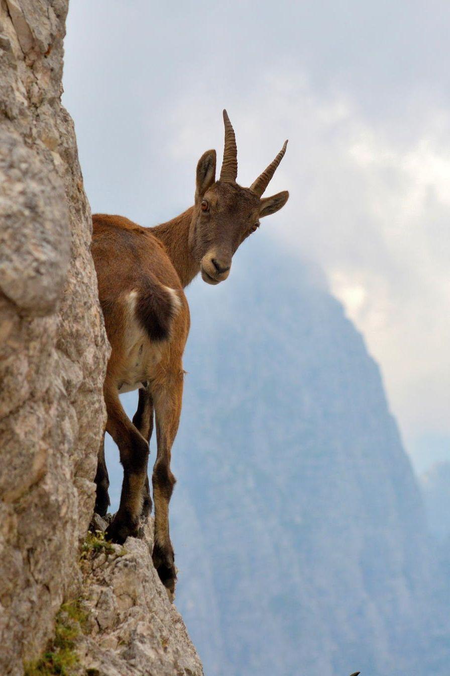 alpine-goat.jpg