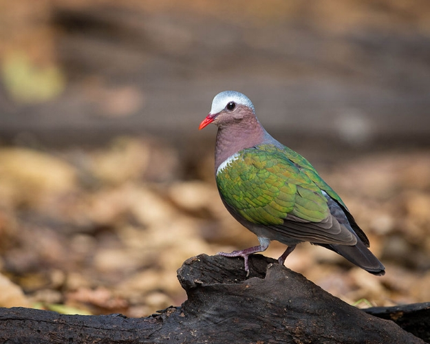 By Jason Thompson - Flickr: Common Emerald Dove, CC BY 2.0, https://commons.wikimedia.org/w/index.php?curid=30797786