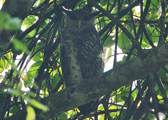 Spot-bellied_Eagle_Owl_.jpg