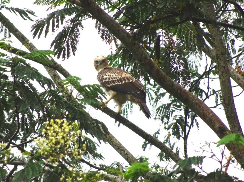Crested+Hawk-eagle.jpg