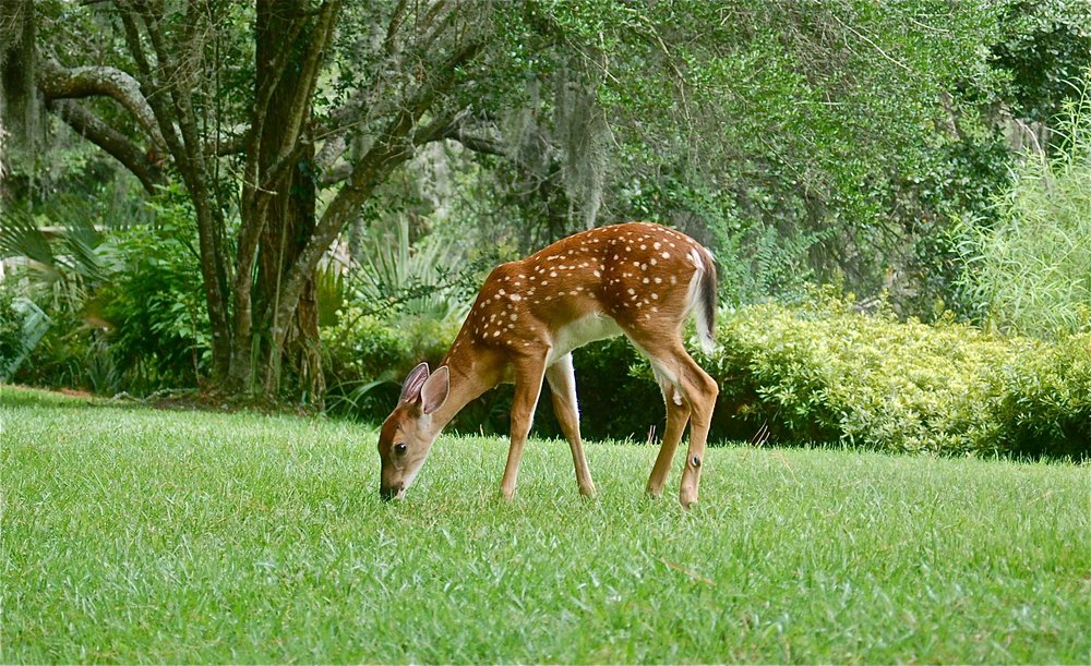 Fawn outside our villa door. Wildlife abounds here!
