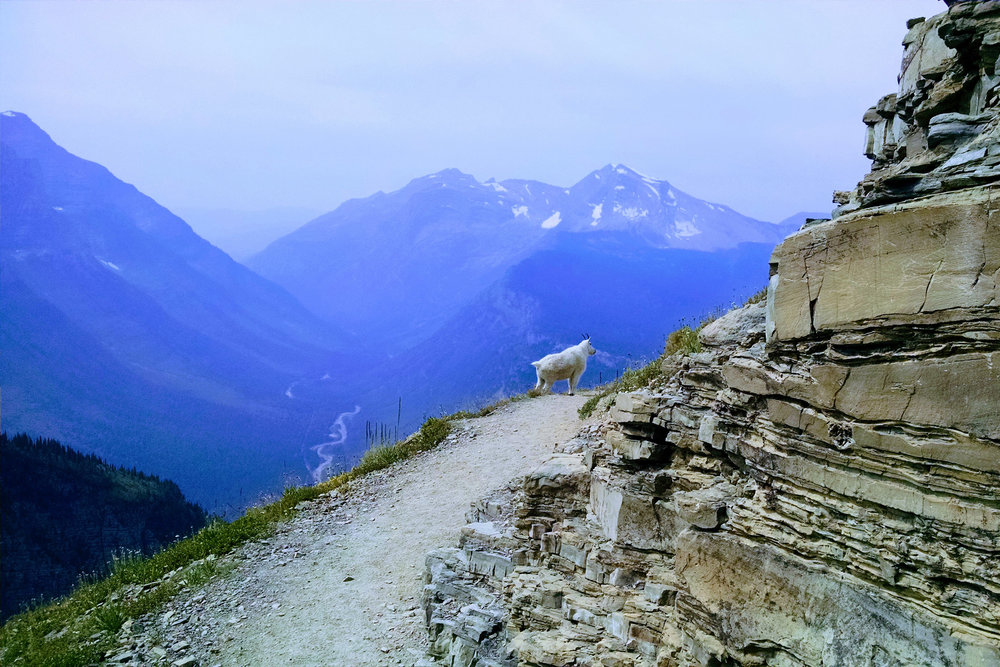 Spotted a Mountain Goat