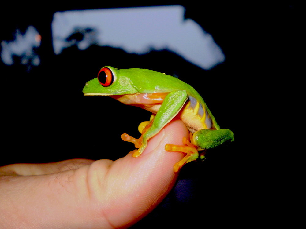 Redeyed Tree Frog - SS Size.jpeg