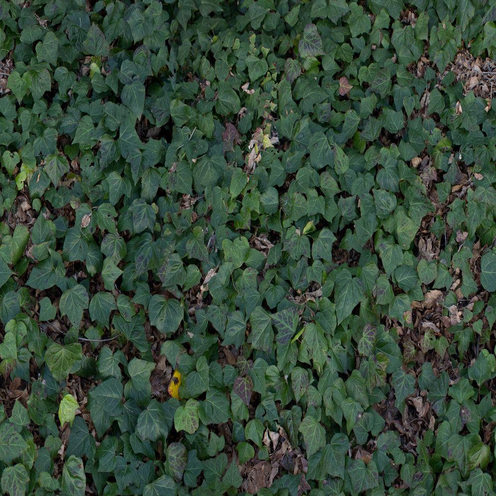 ivy.jpg