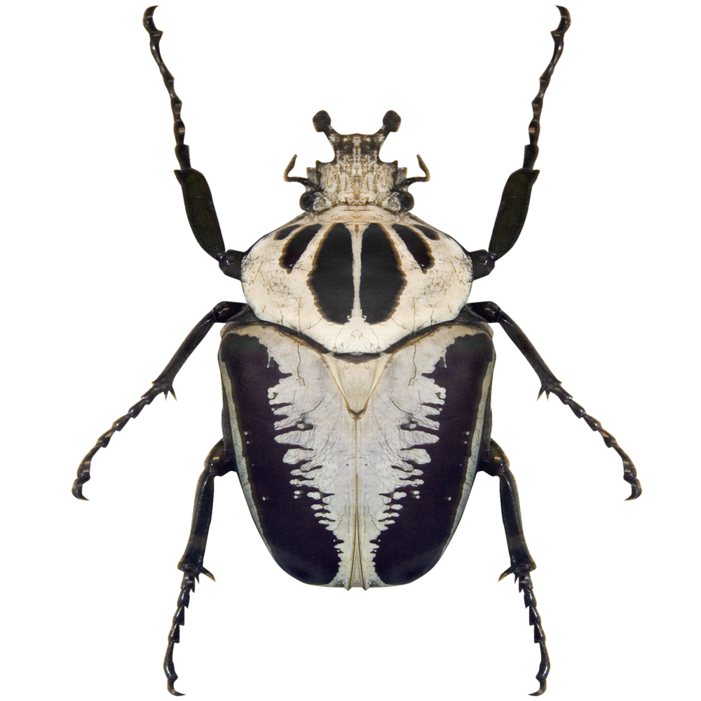 Black and White Beetle.png
