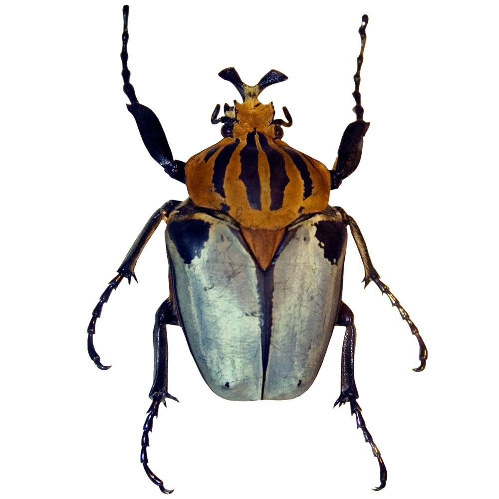 Yellow Striped Beetle.png