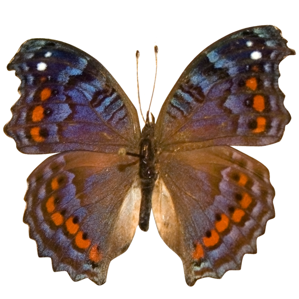 Astyanax Red Spotted Purple.png