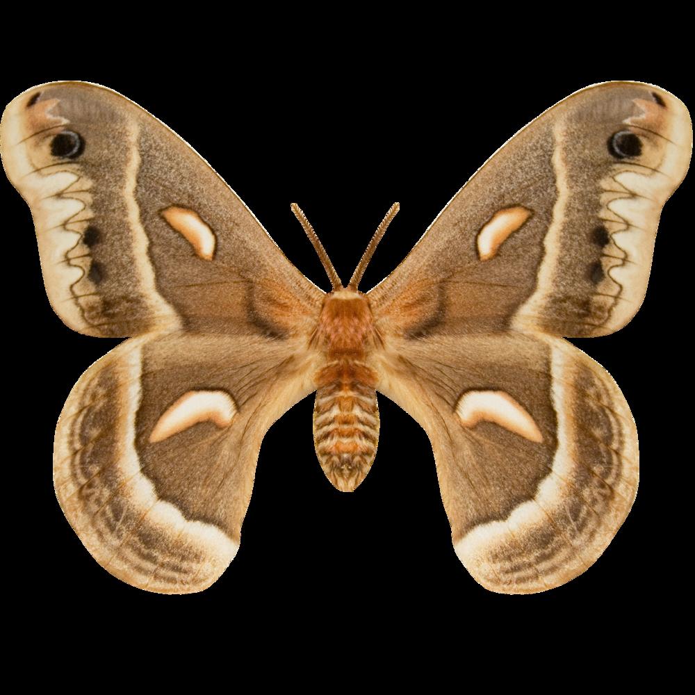 Cecropia Moth.png