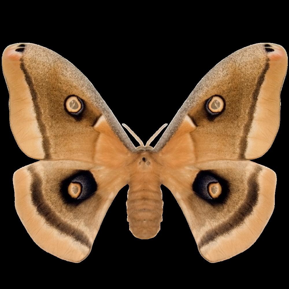 Polyphemus Moth.png