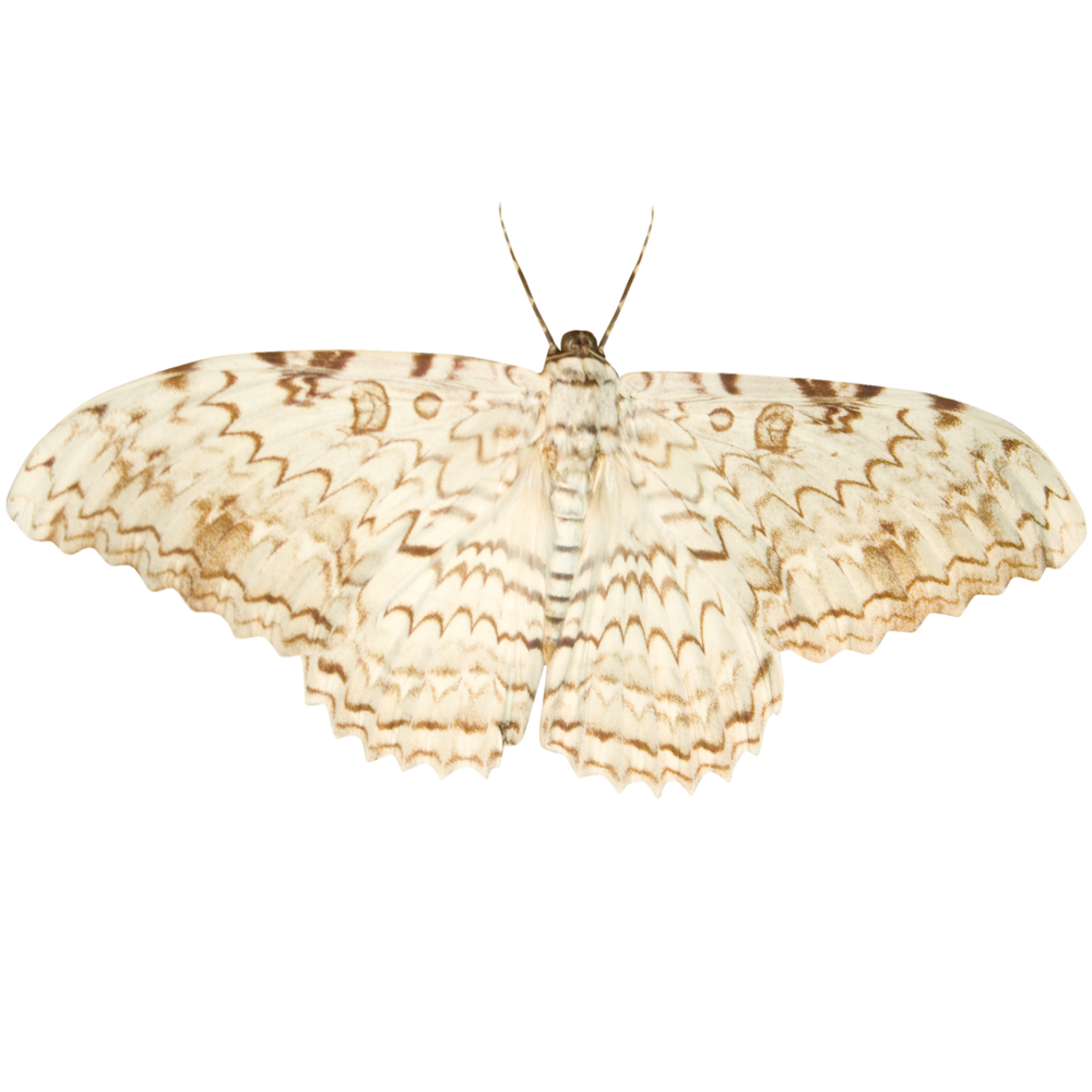 Small Wood Moth.png