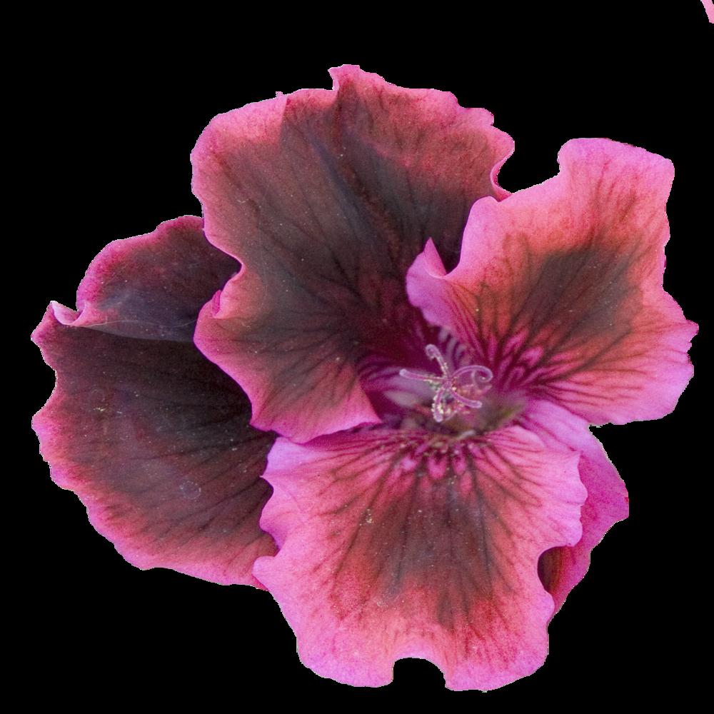 Burgundy Geranium.png