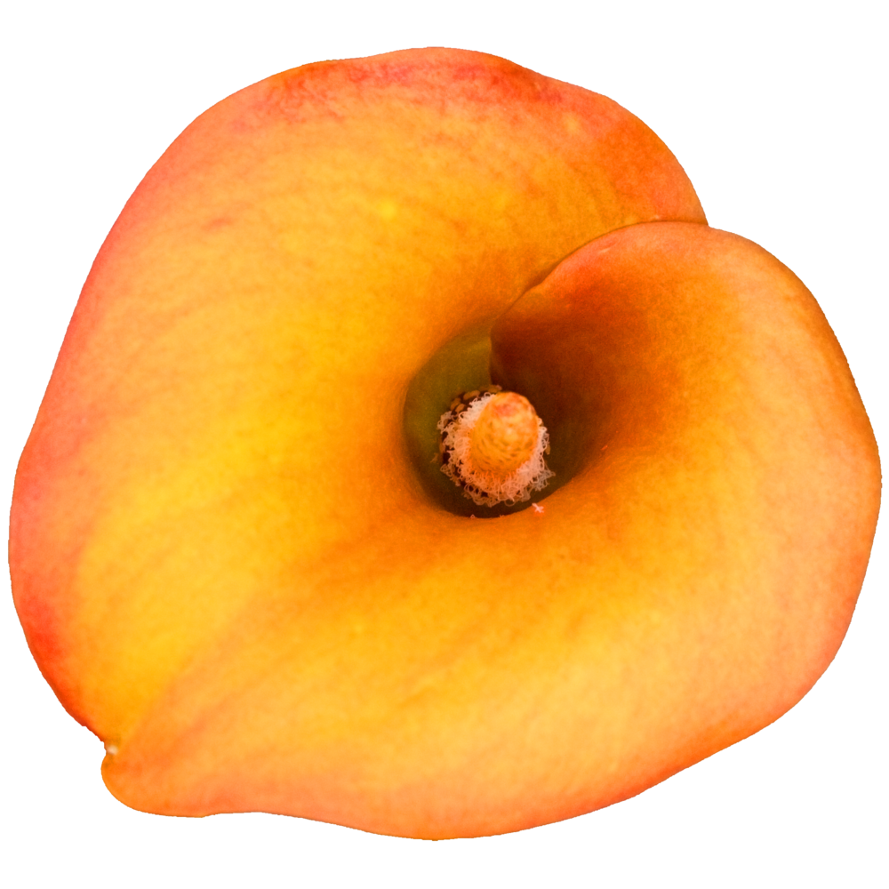 Calla Lily Orange.png