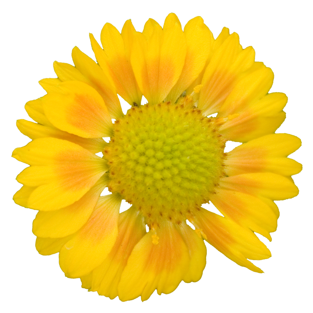 Bright Yellow Daisy.png