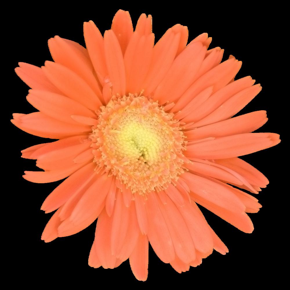Gerber Daisy Orange.png