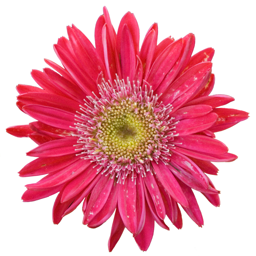 Gerber Daisy Pink.png