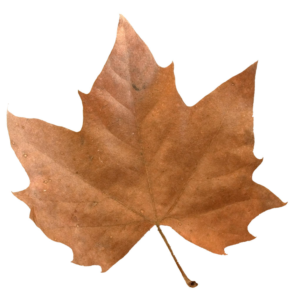 Brown Maple Leaf.png