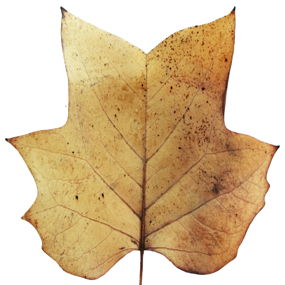 Brown Tulip Tree Bottom.png