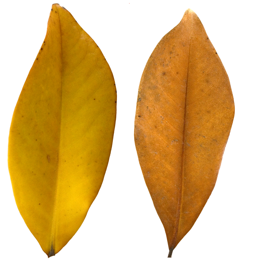 Brown Pear Leaf.png