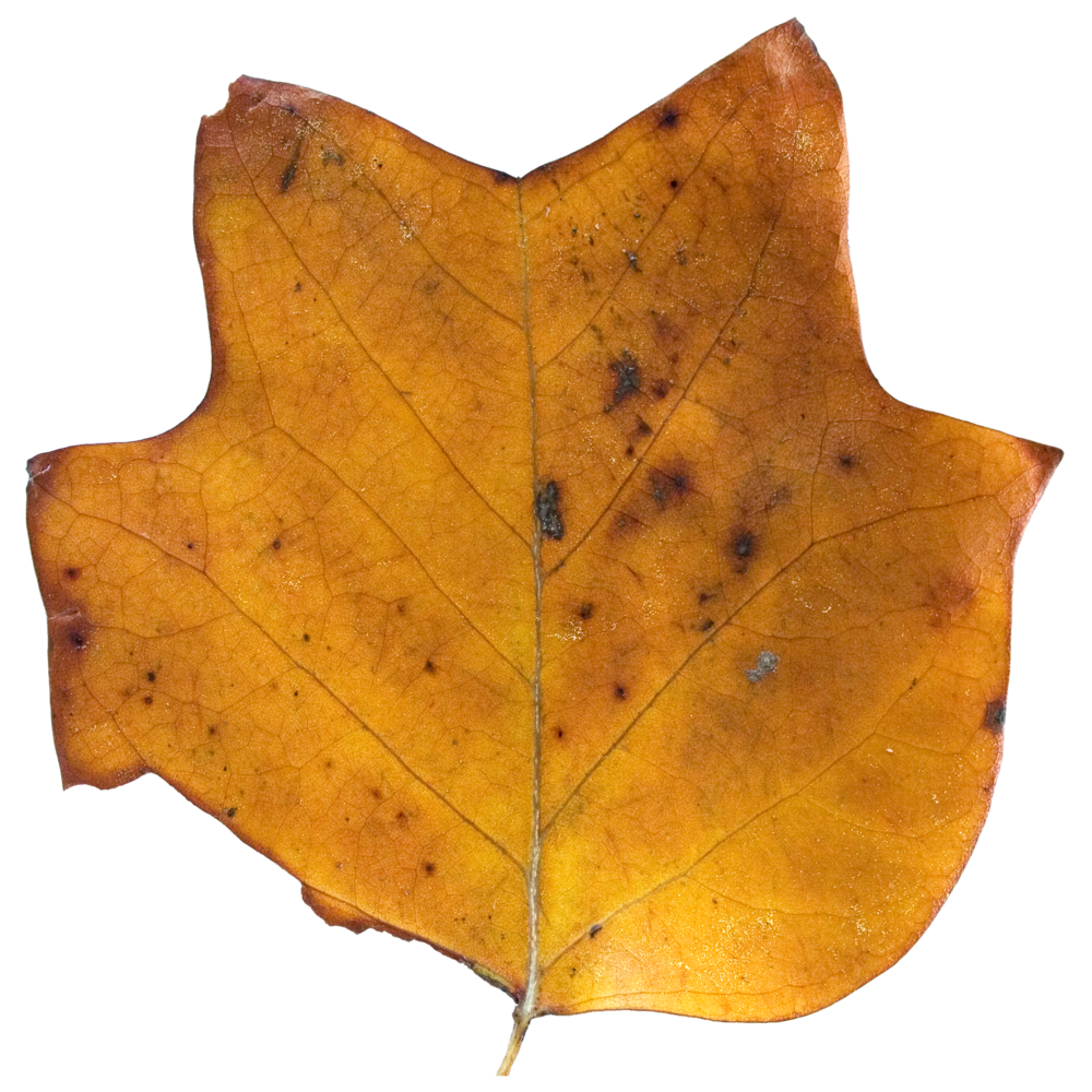 Brown Tulip Tree Top.png