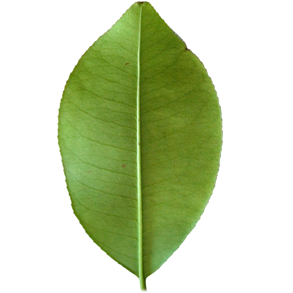 Broad Lemon Leaf.png