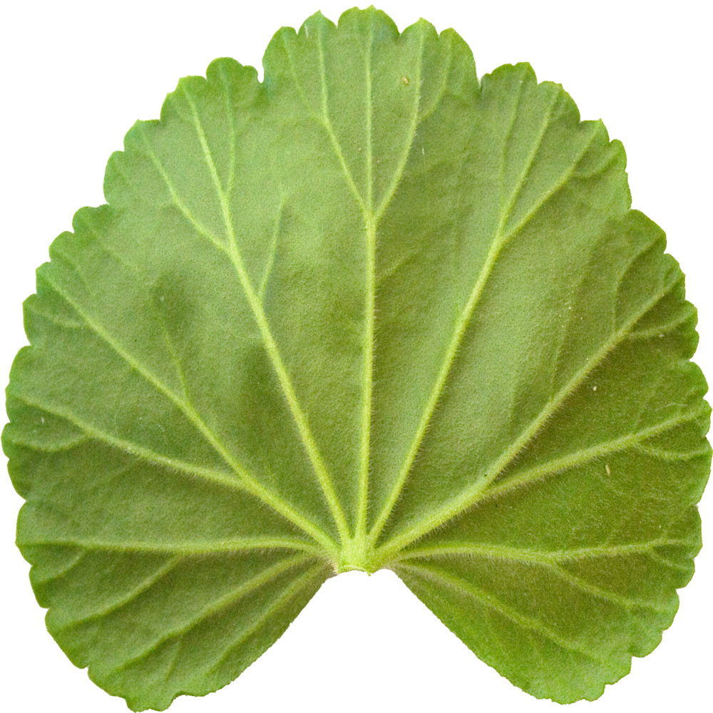 Bottom Geranium Leaf.png