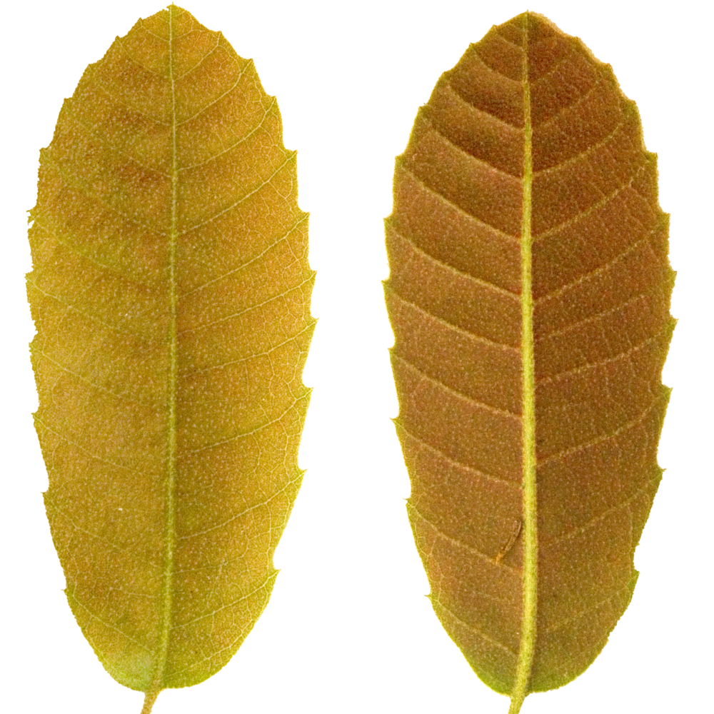 Brown Pointed Leaf.png