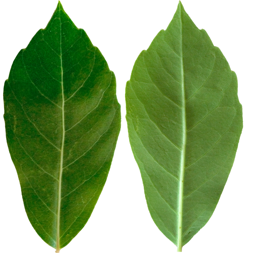Dark Green Tall Leaf.png