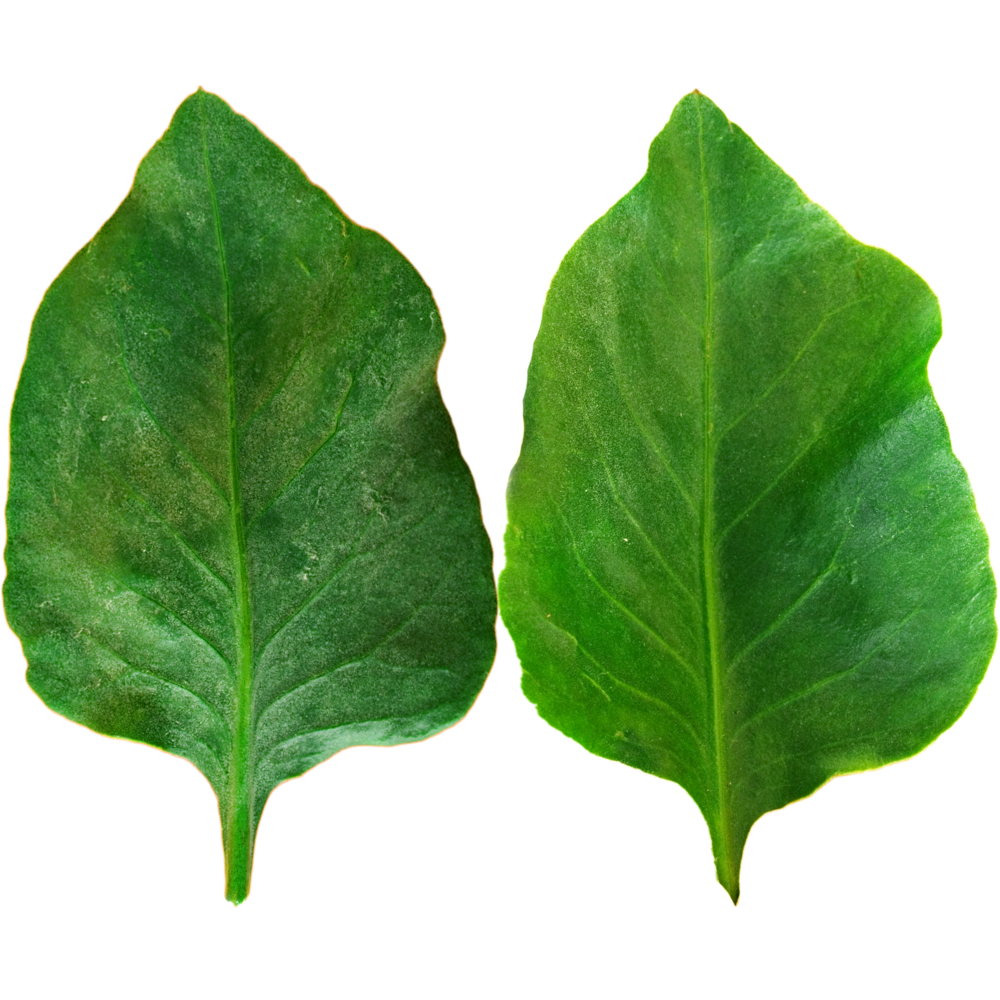 Dark Green Wavy Leaf.png