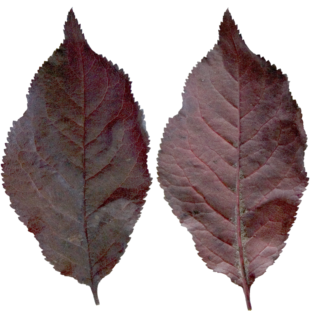 Deep Rounded Pan Leaf.png