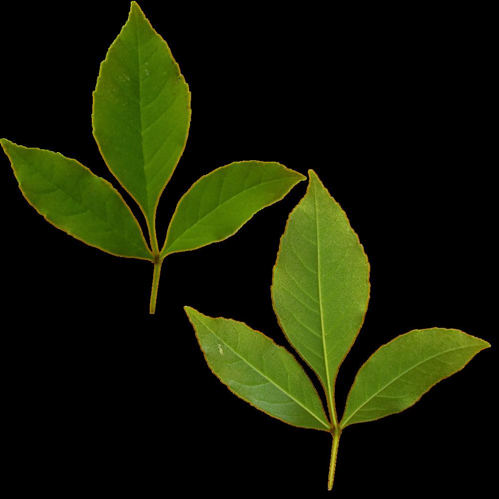Dual Tri Leaf.png