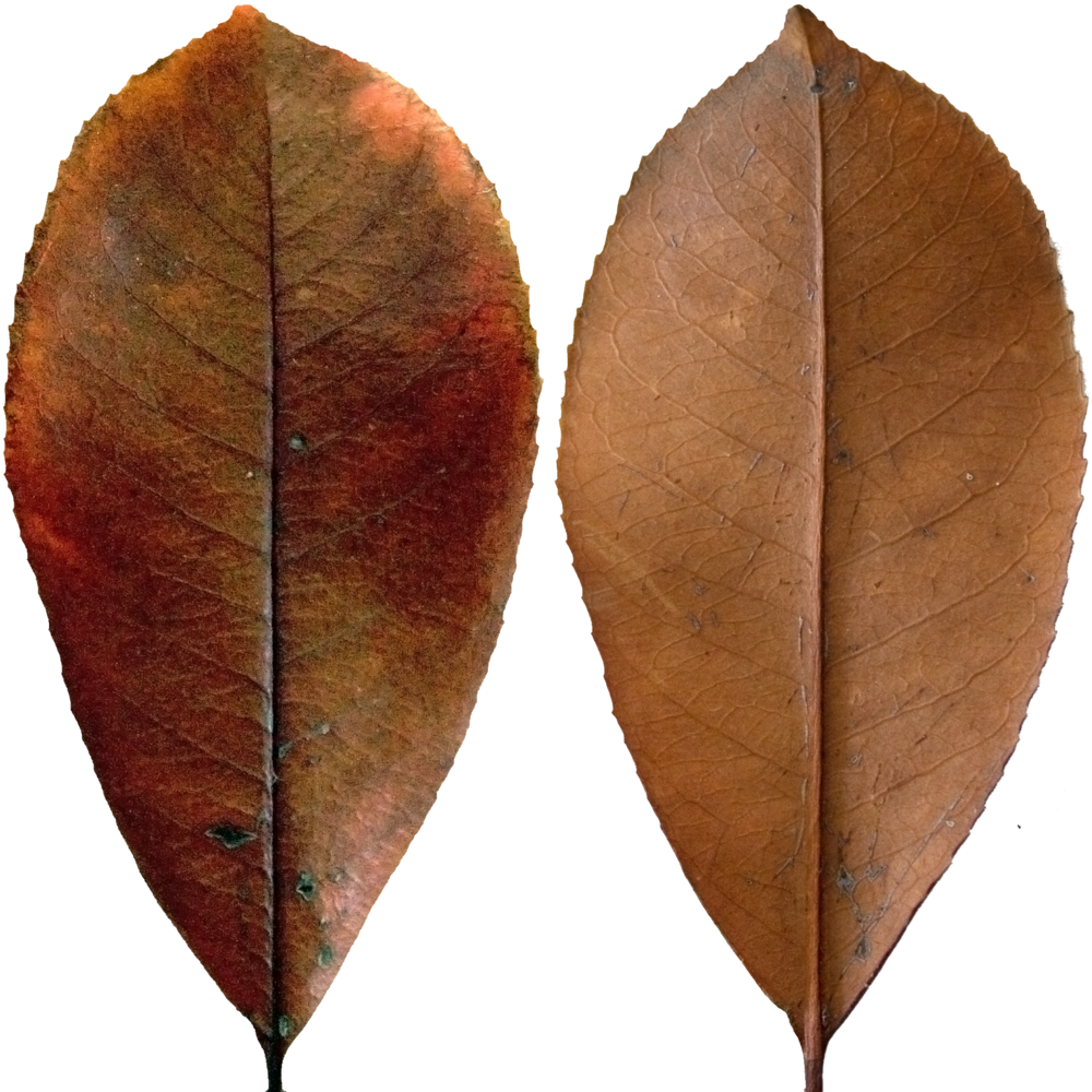 Dark Red Leaf.png