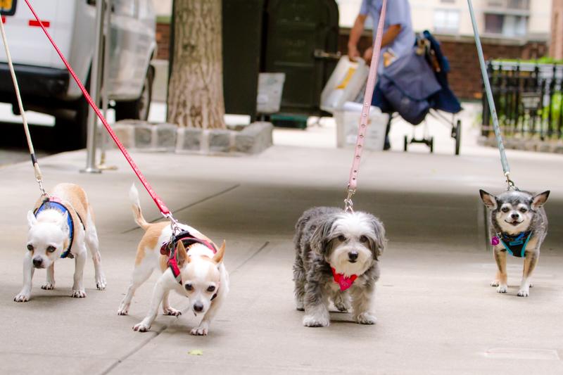 Raissa Katona Bennett's dogs. Left to right:Tiny, Phoebe, Molly, Otie, Photo Credit:Taka Harkness