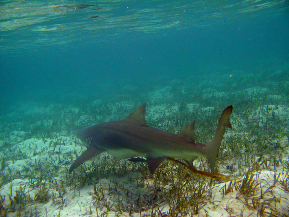 Lemon shark - Lemon sharks in Bimini, Bahamas show strong site fidelity to the islands. If you encounter one of 5ft in length (~age-7) there is a 50% chance that it was born in Bimini. Thus dispersal is slow and local populations need protection. Please see our paper in Molecular Ecology.
