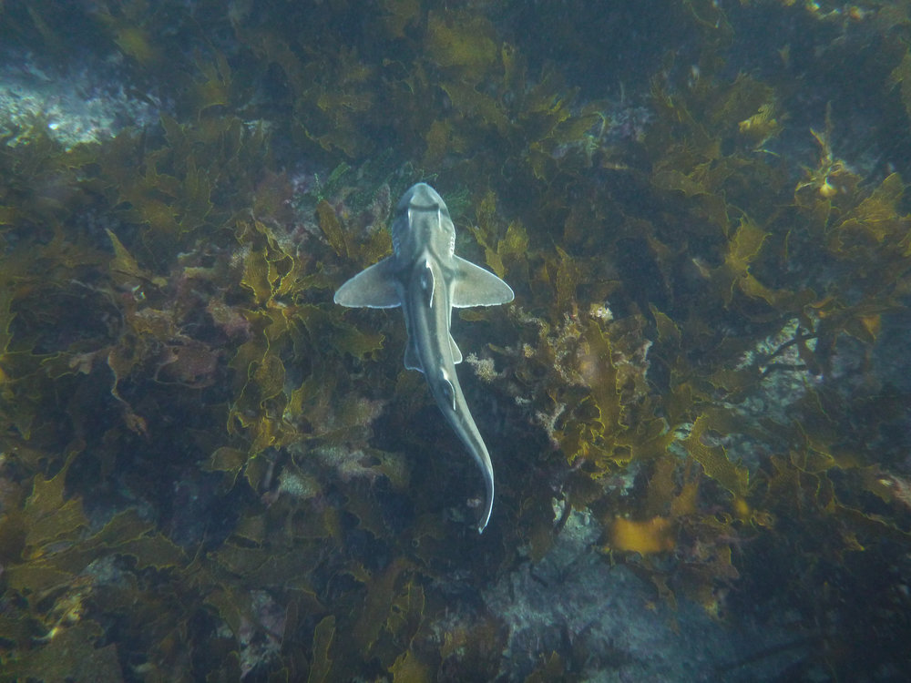Port jackson shark - Male and female adult sharks showed strong philopatry to Jervis Bay, Australia. Some returning for 4 consecutive years over the winter months. Please see our paper in Marine and Freshwater Research.