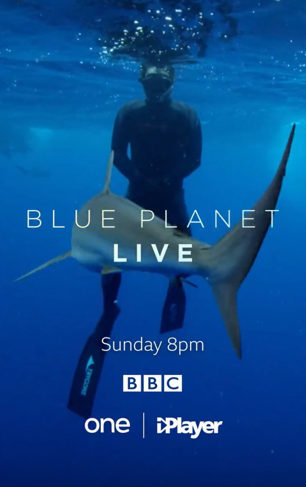 Blue Planet Live - Tristan and his wife Annie worked together on a sequence for this blue-chip production deploying a satellite tag on the highly mobile and little known Silky Shark in the Tongue of the Ocean, Bahamas. Please visit our blog for behind the scenes information.