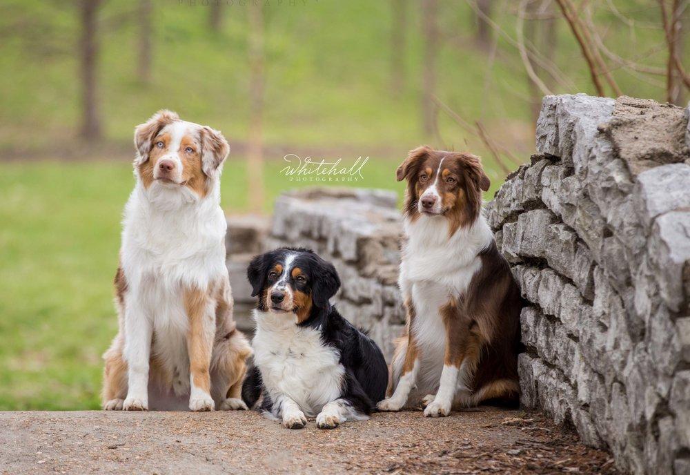 Aussies St Louis Pet Photographer Ballwin Chesterfield Wildwood.jpg