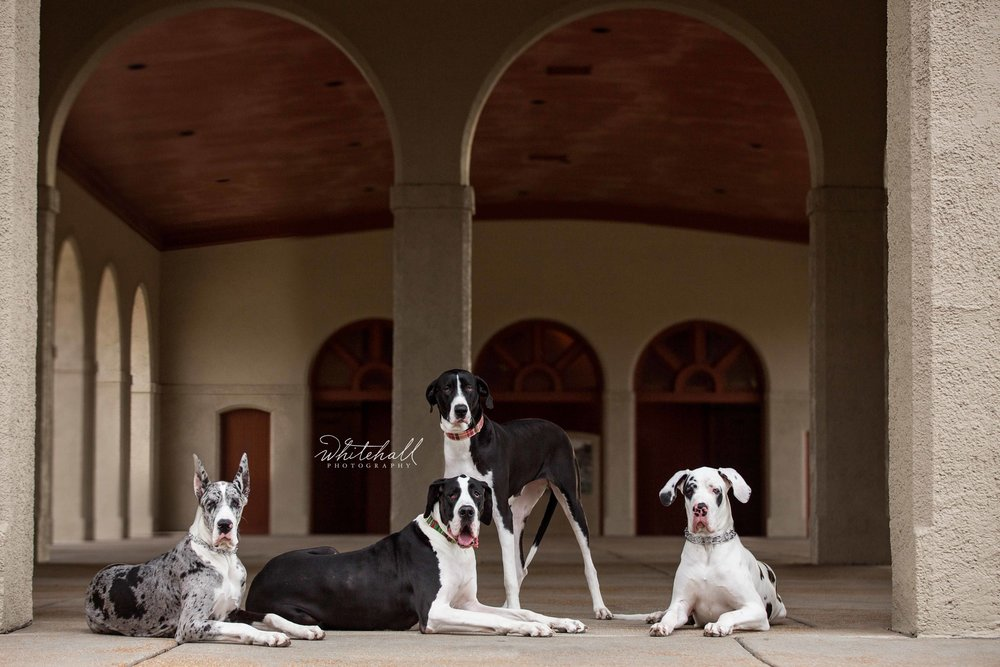 Great_Dane_Dog_Photography