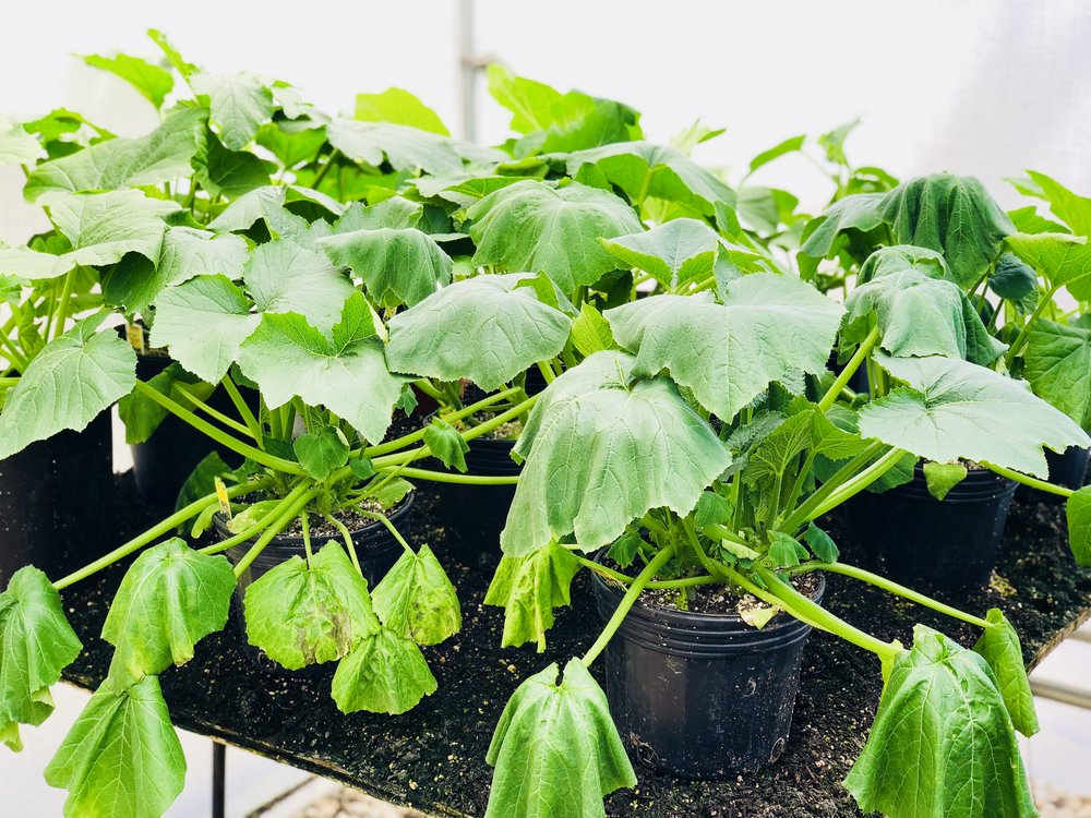 Hot hot squashes vegging in the green house.
