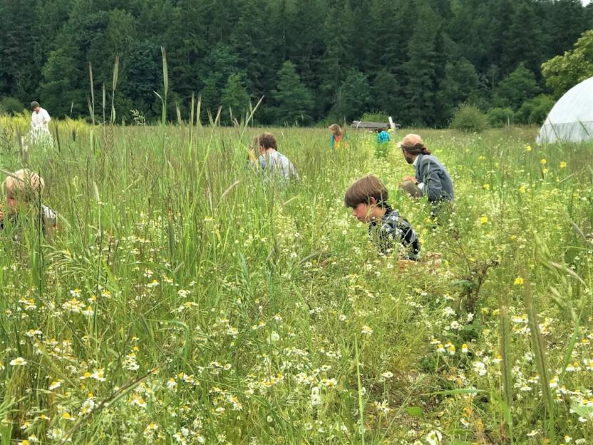 Children picking camomiles.jpg