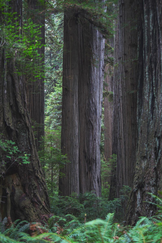 2-Redwoods-2017_115.jpg
